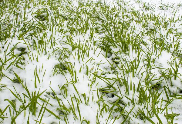 посев сидератов под зиму