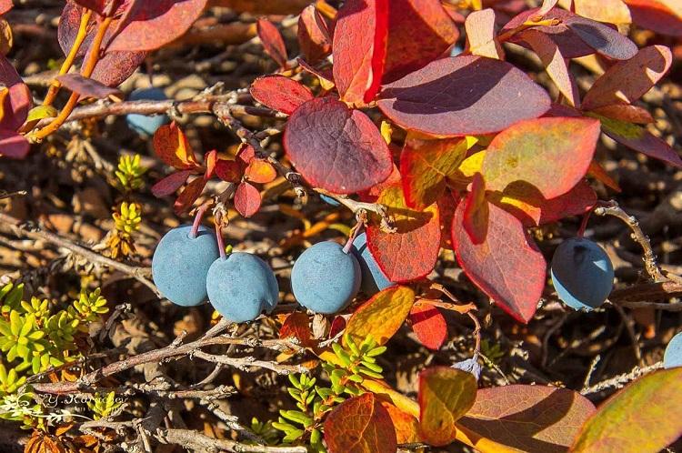 Подкормка голубики садовой осенью