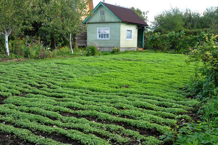 Сидераты для осеннего посева