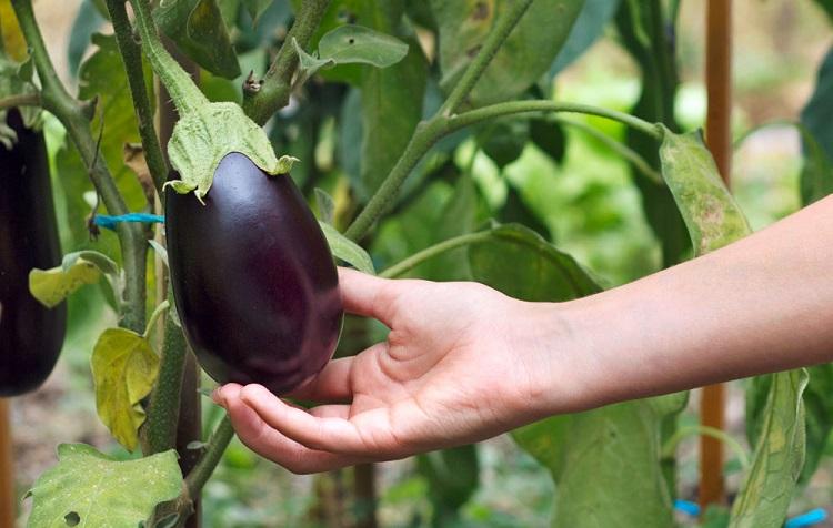 Как вырастить баклажаны